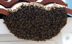 bees in gilbert