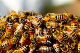 bees-arizona