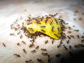 ants-az
