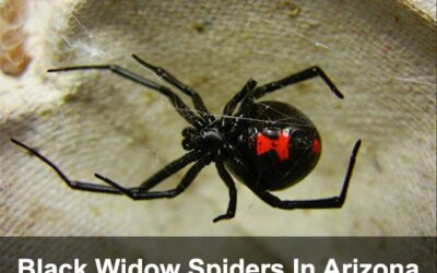 The Black Widow – How To Eliminate This Little Lady